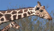 Stock Video Footage of Two Giraffe Heads/One Chewing- 1 in series