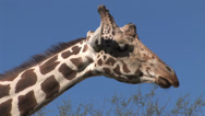 Stock Video Footage of Giraffe looks forward at viewer, then away 2 in series