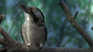 Stock Video Footage of Kookaburra, Bird, Australian, 4K