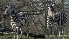 Zebras Playing Stock Footage