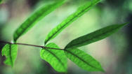 Stock Video Footage of Tropical Plant Leaf in the Jungle.