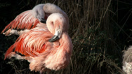 Stock Video Footage of Pink Flamingos, Chilean, Preening, 4K