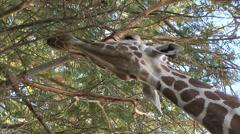 Giraffe Eating In Tree- 3 in series Stock Footage