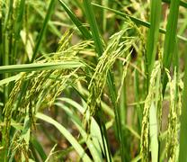 Rice spike Stock Photos