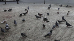 Flock of pigeons eating on street, hungry doves, flying birds - stock footage