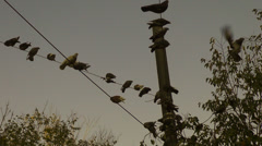 Flock of pigeons balancing on power cables, power lines, flying birds, sunset Stock Footage