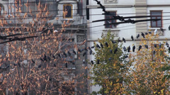 Flock of pigeons balancing on power cables, doves, birds, power lines, trolley Stock Footage