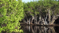 Stock Video Footage of Airboat Ride through mangrove forest