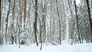 Stock Video Footage of Falling snow in winter forest with snow covered trees.