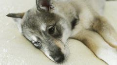 A husky puppy Stock Footage