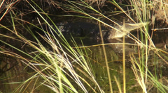 Alligator in the Everglades Floridas wildlife - stock footage
