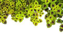nettle (coleus)   isolated on white background - stock photo
