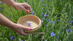 Closeup of woman hand pick blue cornflower herb in field Stock Footage