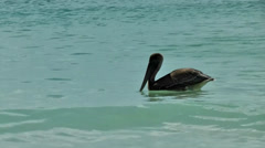British Virgin Islands Tortola Cane Garden Bay 096 swimming pelican Stock Footage