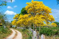 Stock Photo of yellow guayacan tree