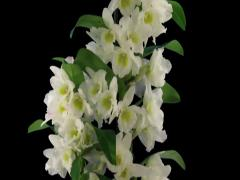Time-lapse of opening Orchid Dendrobium 2a3 (DCI-2K) with ALPHA channel Stock Footage