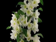Time-lapse of opening Orchid Dendrobium 2b3 (DCI-2K) with ALPHA channel Stock Footage