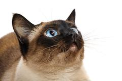 closeup of cute blue-eyed siamese cat isolated on white. whiskers are striped - stock photo