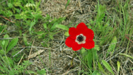 Stock Video Footage of Red anemone on a wind