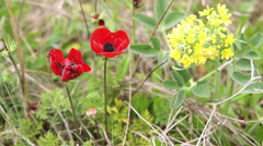 Red anemone and yellow flower on a wind Stock Footage