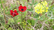 Stock Video Footage of Red anemone and yellow flower on a wind