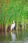 Heron and reeds Stock Photos