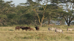 African buffaloes and plains zebras Stock Footage