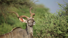 Kudu bull feeding Stock Footage