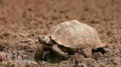 Leopard tortoise Stock Footage