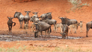 Stock Video Footage of Wildebeest at waterhole