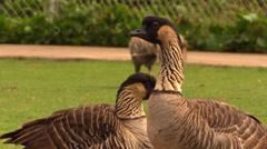 Nene Geese Stock Footage