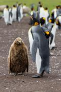 Stock Photo of king penguin mother and her chick