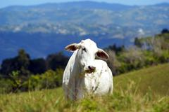 White cow on a pasture in pierto rico highlands horizontal Stock Photos