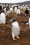 Gentoo penguin colony Stock Photos