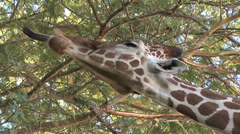 Giraffe Tongue 5 in series Stock Footage