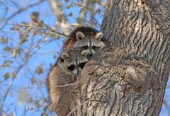 Cute Pair of Raccoons in a Tree Stock Photos