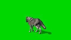 Wolf walks fast - seperated on green screen Stock Footage