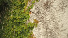 Wall Vine Texture - stock footage