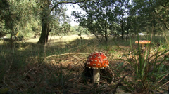 Amanita muscaria, pair of fly agaric in forest - side view, low angle Stock Footage