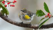 Stock Video Footage of Yellow-rumped Warbler