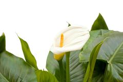 White calla lilies with leaf Stock Photos