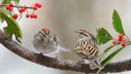 Stock Video Footage of Chipping Sparrow
