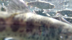Trout fish school bumping into underwater camera - stock footage