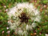 Stock Photo of Close-up of dandelion