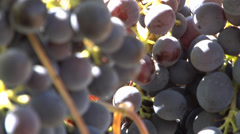 Bunch of Grape - Focusing Stock Footage