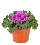 ornamental purple kale or cabbage - stock photo