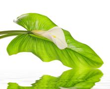 white calla lilies with leaf - stock photo