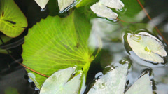 Fish and lotus leaf in pond Stock Footage