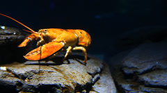 Stock Video Footage of A bright yellow lobster moves underwater in a rocky setting