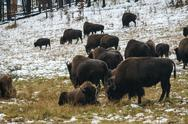 Stock Photo of grazing bison